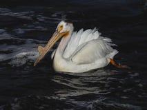 Één Amerikaanse witte pelikaan Montana Stock Foto's