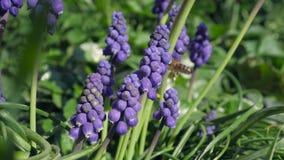 Één of andere violette druivenhyacint in een tuin stock video