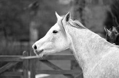 Één Arabisch paard Stock Foto's