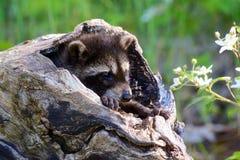 Één babywasbeer die uit een hol logboek komen Stock Afbeeldingen