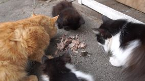 Één blauwe en drie zwarte katjes die en in een terras zitten eten stock video
