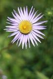 Één bloem Stock Foto