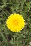 Één bloem Royalty-vrije Stock Afbeeldingen