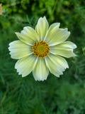Één bloem die van kosmoslimonade begin november bloeien stock foto