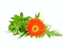 Één bloem en groen blad Royalty-vrije Stock Foto's