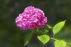 Één bloem van Hydrangea hortensia op zonnige de zomerdag royalty-vrije stock afbeeldingen