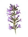 Één bloem van Levander royalty-vrije stock foto's