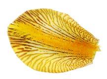 Één bloemblaadje van een gele koninklijke irisbloem stock foto's