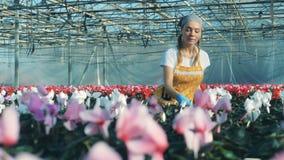 Één bloemist beweegt potten met witte cyclaam op een lijst in een serre stock videobeelden
