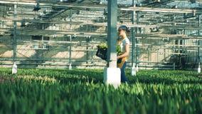 Één bloemistgangen in een serre, die een grote mand met tulpen dragen stock videobeelden