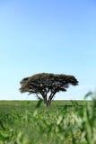 Één boom op een gebied Royalty-vrije Stock Afbeeldingen