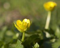 Één boterbloemenbloem royalty-vrije stock afbeeldingen