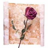 Één Bourgondië nam bloem op geschilderde verfrommelde oude die document achtergrond dicht omhoog op wit, vakantieuitnodiging o royalty-vrije stock foto's