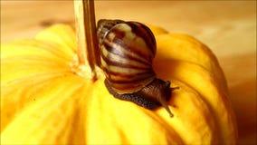 Één bruine shell slak die de trillende gele pompoen onderzoeken stock video