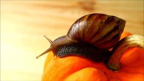 Één bruine streepshell slak die de levendige oranje kleurenpompoen in het ochtendzonlicht onderzoeken stock footage