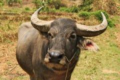 Één buffel die direct bij de fotograaf ooking Stock Foto