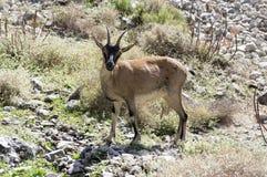Één Capra-wild dier van aegagruscretica in Griekse bergen stock afbeelding