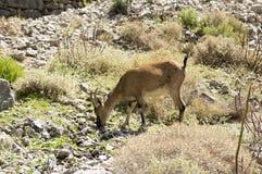 Één Capra-wild dier van aegagruscretica in Griekse bergen, die gras op stenen eten stock afbeeldingen