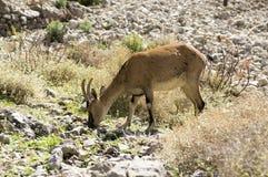Één Capra-wild dier van aegagruscretica in Griekse bergen, die gras op stenen eten stock foto's