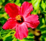 Één dag bloeiende hibiscus Stock Foto's