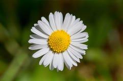 Één Daisy stock fotografie