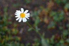 Één Daisy Het concept eenzaamheid, uniciteit stock fotografie