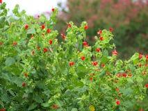 Één Ding zonder twijfel is dat Kolibries zoals Rode Kleuren stock foto