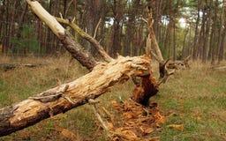Één dode die boom, na het onweer wordt gebroken en is gevallen stock fotografie
