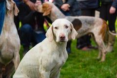 Één droevig puppy Stock Foto