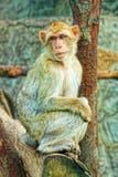 Één droevige aap Stock Afbeelding