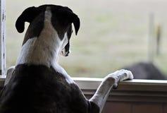Één droevige hond status die uit open venster kijken stock foto
