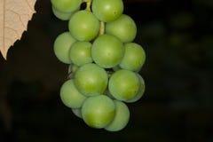 Één druivenbos in de tuin stock foto