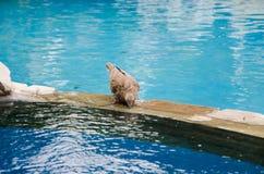 Één duif drinkt water van een fontein stock afbeelding