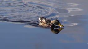 Één eend op van de meerwater en herfst bezinningen stock footage
