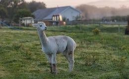 Één enkele Alpaca op een gebied, bij dageraad Stock Fotografie