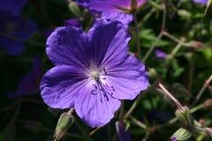 Één enkele blauwe geranium Stock Foto