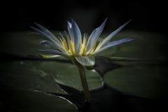 Één enkele Bloem Blauwe van Nile Waterlily (Nymphaea Caerulea) Royalty-vrije Stock Foto