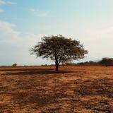 Één enkele boom (2) Stock Foto's