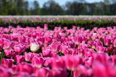 Één enkele eenzame witte tulp op een gebied van roze tulpen Royalty-vrije Stock Foto