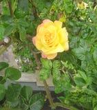 Één enkele geel en roze nam toe stock fotografie