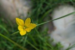 Één enkele gele die bloem van de daglelie vanaf de bovenkant wordt gevangen stock afbeeldingen