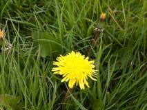 Één enkele gele gele narcis in de lente op het gras alleen in Royalty-vrije Stock Afbeeldingen