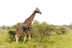 Één enkele giraf stock afbeeldingen