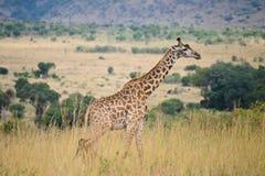 Één enkele giraf royalty-vrije stock foto