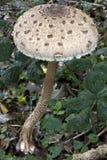 Één enkele grote parasol die in bos mushroomgrowing Stock Foto's