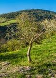 Één enkele kleine olijfboom Stock Foto