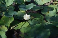 Één enkele lotusbloembloem Royalty-vrije Stock Fotografie
