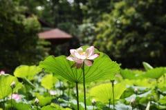 Één enkele lotusbloembloem Stock Foto