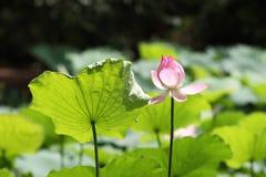 Één enkele lotusbloembloem Stock Afbeeldingen