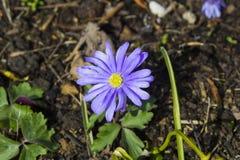 Één enkele purpere Anemone Blanda in een stedelijke tuin in de vroege lente royalty-vrije stock afbeelding